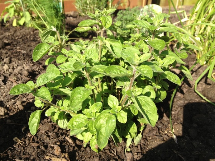 Oregano, fresh, herb garden, recipes